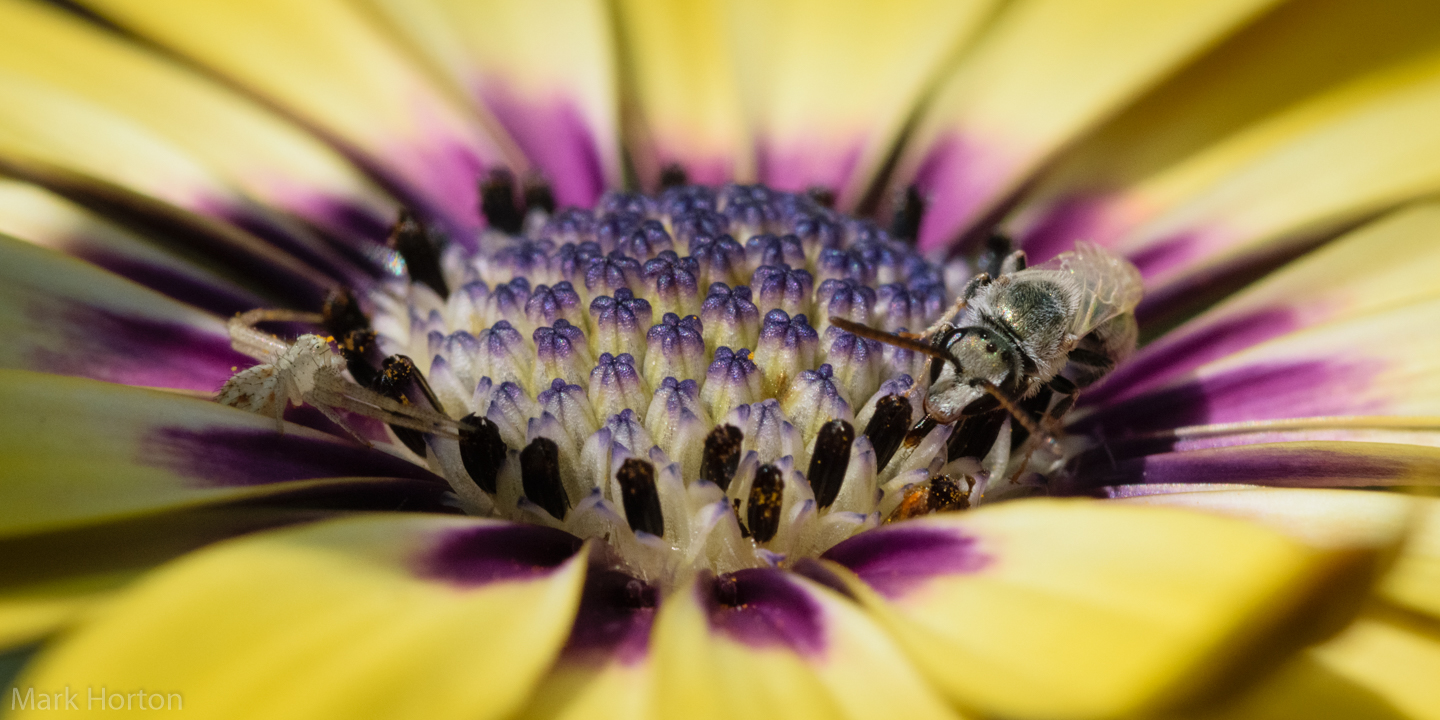 crab spider and sweat bee on osteospermum