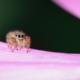 Phidippus audax on Cosmo flower petalss